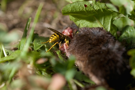 Dead body of a mouse being devoured by flies and a wasp