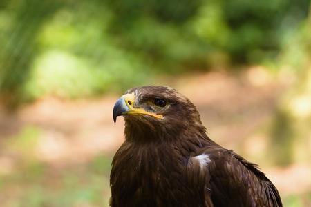 Head of common buzzard (buteo buteo), common European medium sized bird of prey.