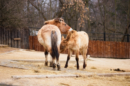 Przewalskis horse, very endangered wild living subspecies of horse.