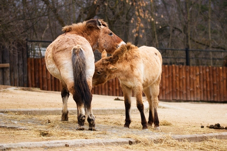 Pair of Przewalskis horses in their steppe habitat in a zoo