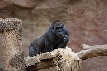 Single black gorilla in dry habitat looking merry and happy