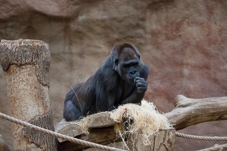 Single black gorilla looking thoughtful