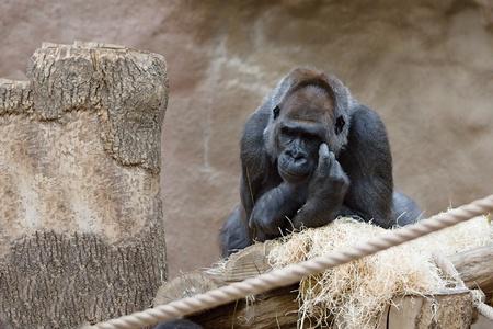 Single black gorilla in dry habitat scratching head