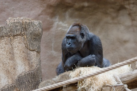 Black gorilla in dry habitat thoughtful and curious Stockfoto