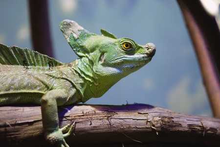 Head of green basilisk lizard in artificially created habitat in zoo or pet shop Stock Photo