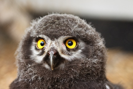 Chick of Eurasian Eagle-owl - frontal portrait with large round yellow closed beak
