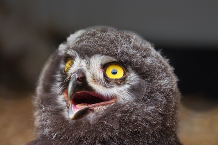 Chick of Eurasian Eagle-owl - detail picture of head with large yellow eyes and raptor beak