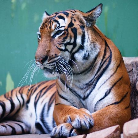 Captive tiger watching carefully Stockfoto