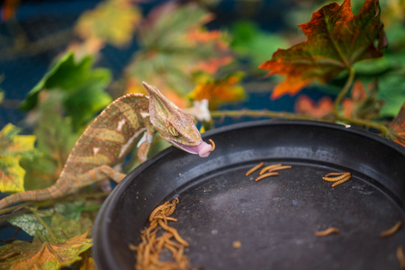 A chameleon lizard is eating worm. Stock Photo