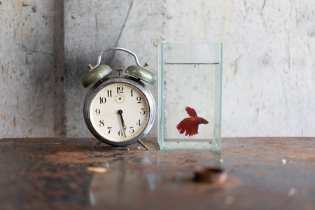 Old alarm clock and Siamese Fighting Fish bowl on rusty iron table in the concept of time and fight life. Imagens