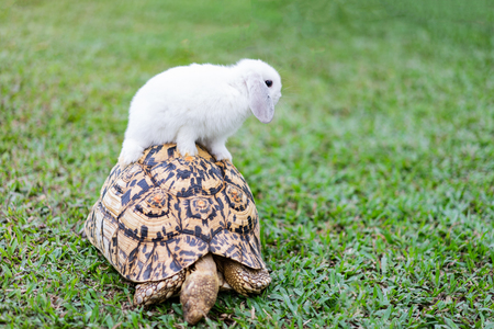 Rabbit on the turtle after completing the race at the garden in the morning.