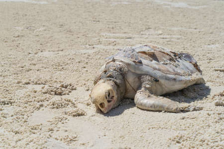 A little turtle is dead on the seashore at Thailand island because of bad sea pollution. 스톡 콘텐츠