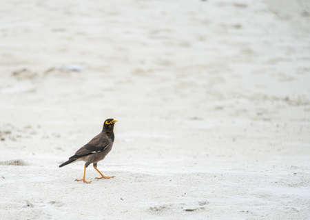 Mynah bird on the beach at Samet island, Thailand.