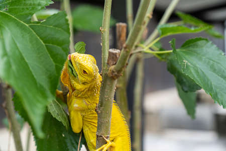 a yellow lizard iguana is looking for some food, It stays on the bunch. 스톡 콘텐츠