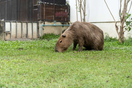 A capybara is eating food in the exotic pet farm. 스톡 콘텐츠