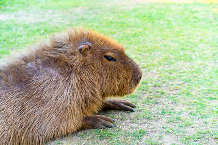 Capybara is relaxing in the grass with peace of mind. Stock Photo