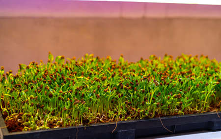 Sunflower seedlings grown in the laboratory by UV light at Organicfarm Stock Photo
