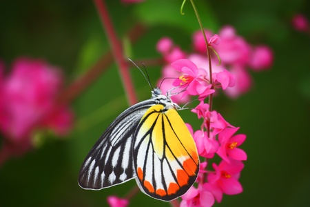 beautiful butterfly on pink flower photo