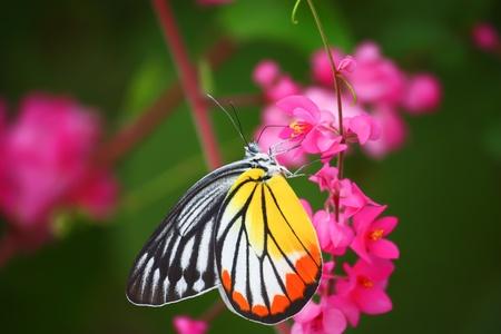 butterflies nectar: beautiful butterfly on pink flower Stock Photo