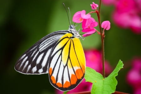 butterfly feeding on pink flower Stock Photo - 14171292