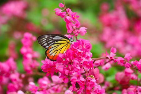 butterfly feeding on pink flower photo