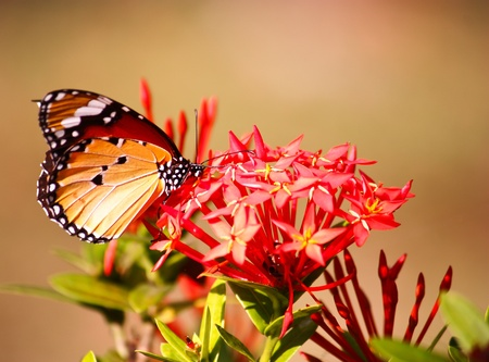 butterfly feeding on red flower photo