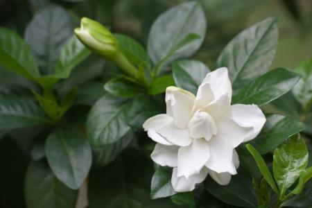 white common gardenia or cape jasmine flower in garden  photo