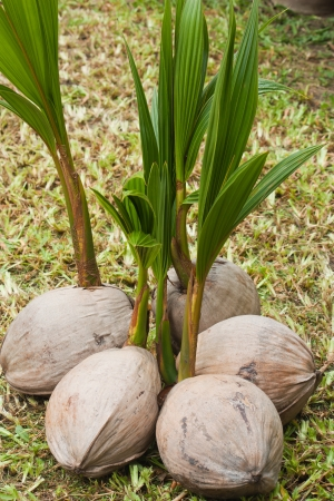 group of young coconuts tree photo