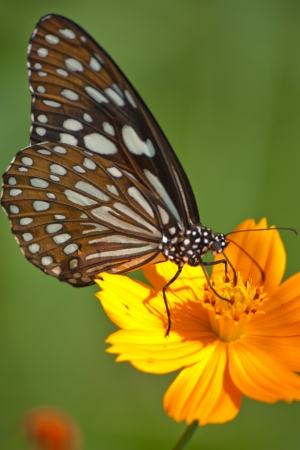 Butterfly feeding on a Flower photo