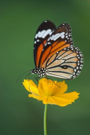 mariposas amarillas: Mariposa aliment�ndose de una flor Foto de archivo