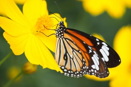 mariposas amarillas: Mariposa aliment?ndose de una flor Foto de archivo
