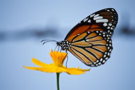 蝶の花に給餌