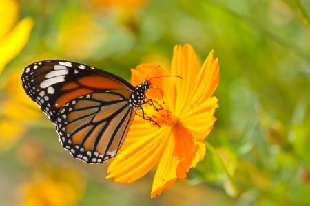 amarillo y negro: Mariposa alimentándose de una flor Foto de archivo
