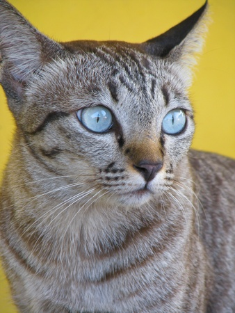 Thai cat with blue eyes photo