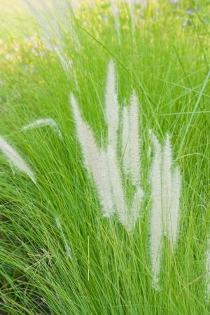 cylindrica: Imperata cylindrica Beauv
