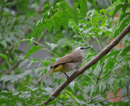 vented: Yellow - vented Bulbul  Pycnonotus goiavier  Stock Photo