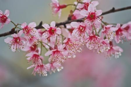 Sakura bloemen en dalingsdauw