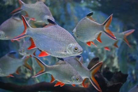cyprinidae: Red tinfoil barb