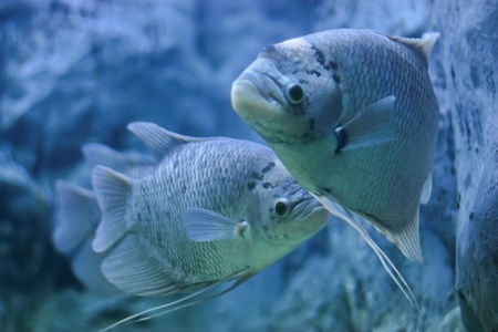 aquaria: Giant gourami fish