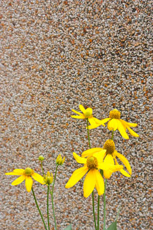 yellow coneflower on wall background photo