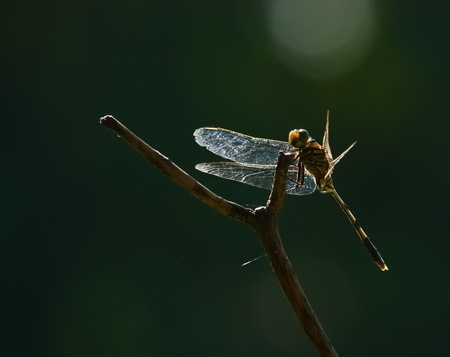 simplicicollis: Dragonfly  resting on a branch