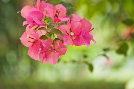 bougainvillea flowers: Bougainvillea flowers