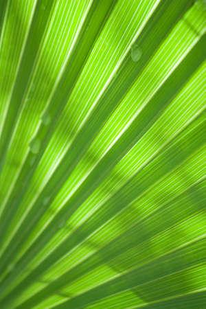 Plam  leaf photo