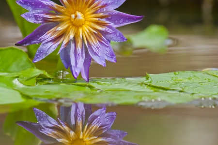 Violet waterlily photo