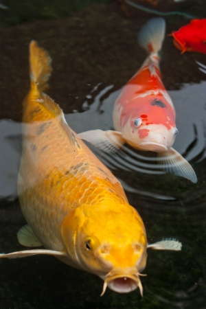 koi: koi fish swimming in the pond  Stock Photo