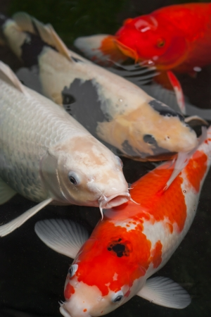 koi fish swimming in the pond Stock Photo - 22525035