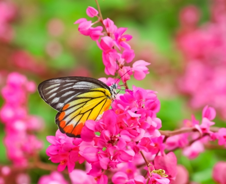 yellow butterflies: Mariposa que introduce en la flor de color rosa