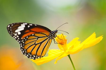 Vlinder voeden op bloem Stockfoto