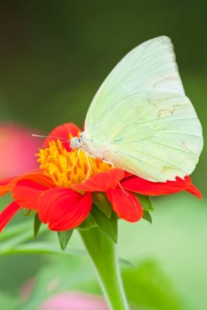 Butterfly feeding on flower Stock Photo - 23006793