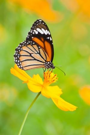orange flower: Butterfly feeding on flower